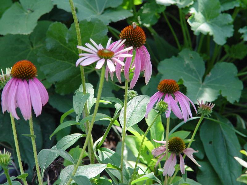 D. purple coneflower