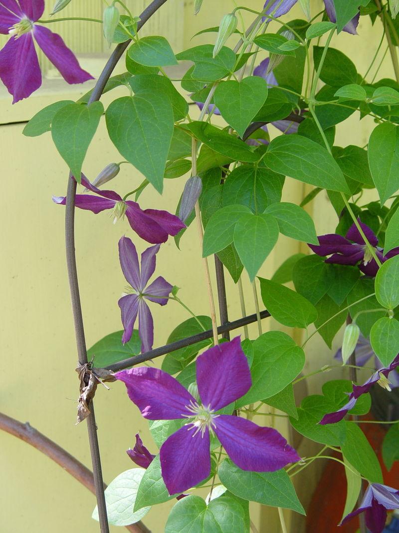D. Purple vine
